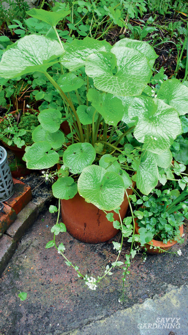 Tips for growing wasabi plants and horseradish in a home garden