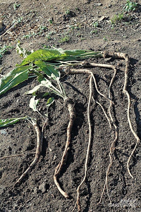 How to grow horseradish in the garden