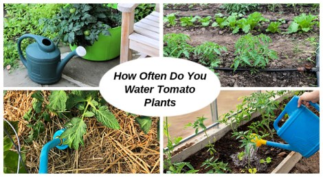 how often do you water tomato plants