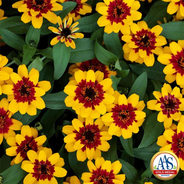 Zinnia Profusion Red Yellow Bicolor