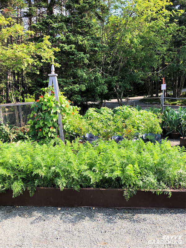 carrots in a garden bed