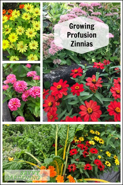 growing profusion zinnia in gardens, raised beds, and containers