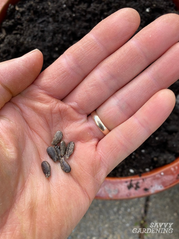 Watermelon seeds ready for planting