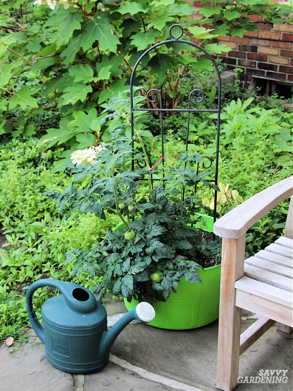How often to water tomato plants