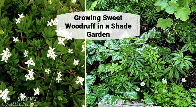 growing sweet woodruff in a shade garden