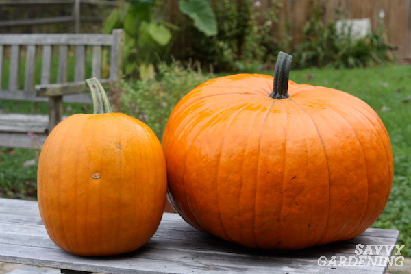 Tips for planting pumpkins to be ready for Halloween