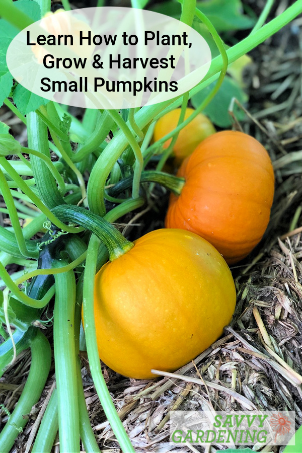Learn how to plant, grow and harvest small pumpkins