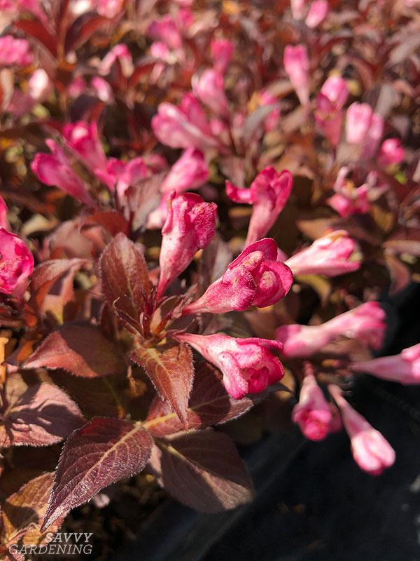 Afterglow™ Weigela flowers