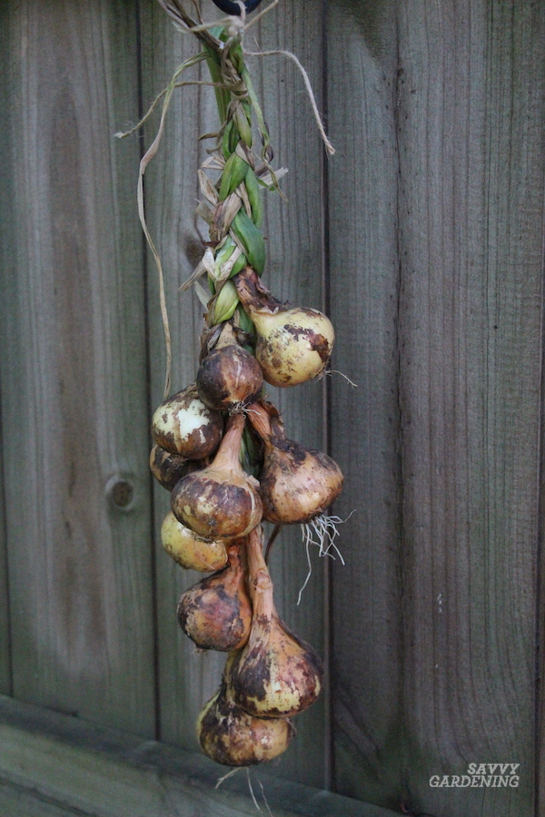 Tips for curing homegrown onions