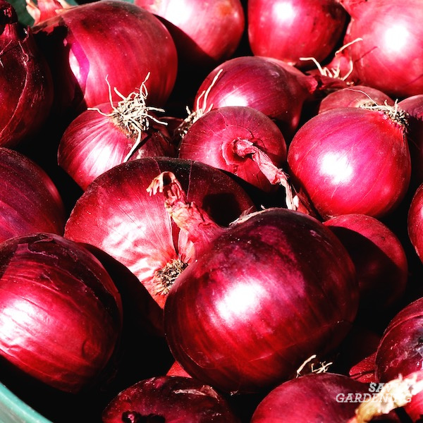 Curing onions for winter use
