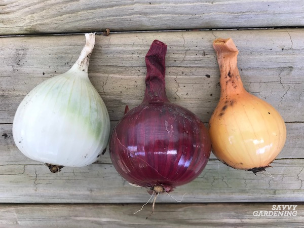 When to pick and store onions