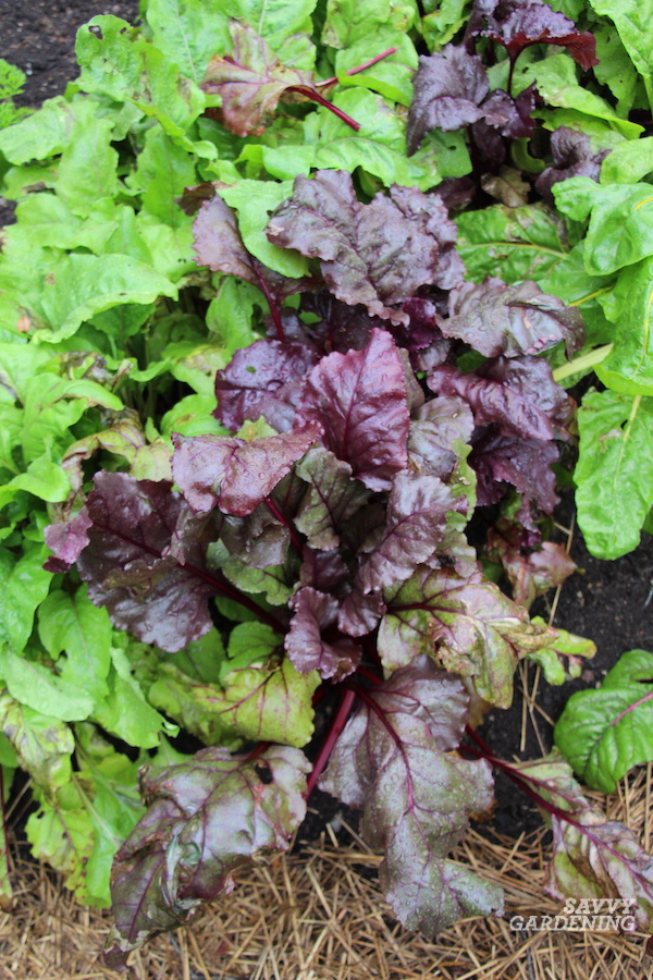 The best beets for edible greens
