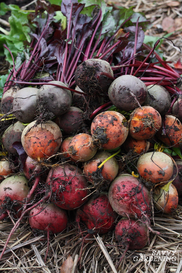 The best size beets to harvest
