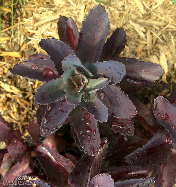 a sedum propagated by stem cutting