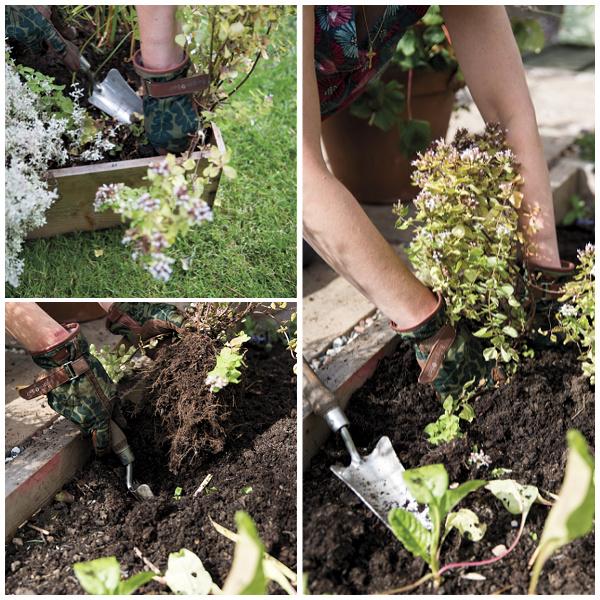 transplanting herbs