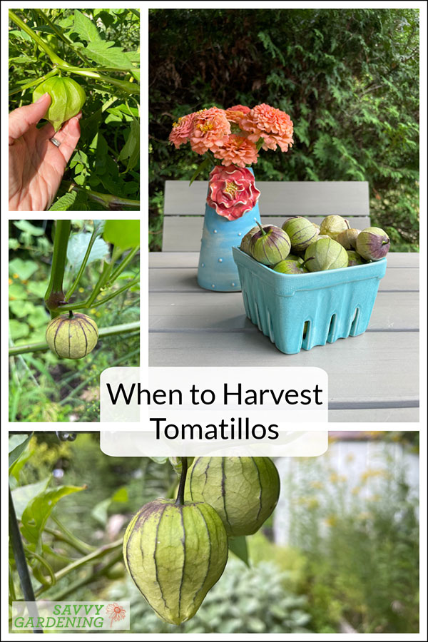 when to harvest tomatillos from your veggie garden