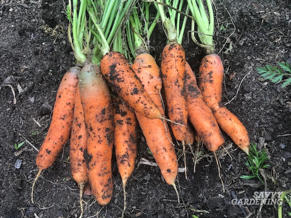 The best techniques for digging carrots