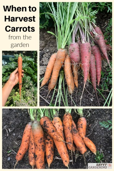 Learn when to harvest carrots for fresh eating and long-term storage