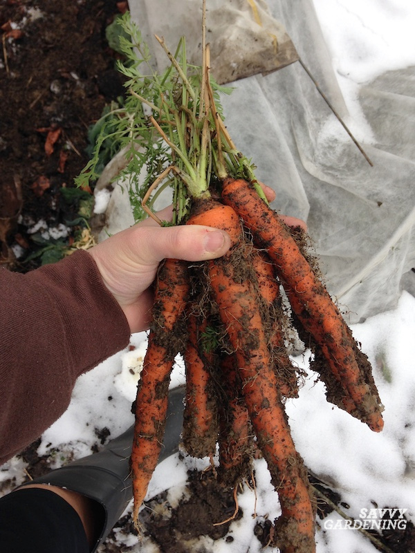 How to keep carrots in the ground all winter