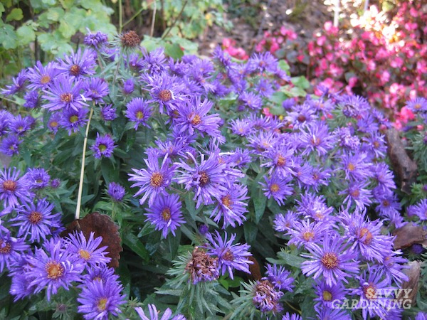 How to grow Aster Purple Dome for late-season color.