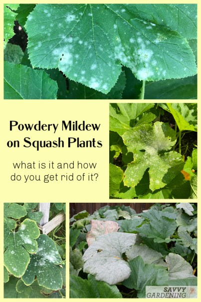Powdery mildew is a common problem on squash plants. Learn how to identify this pathogen and different ways to prevent and control it.
