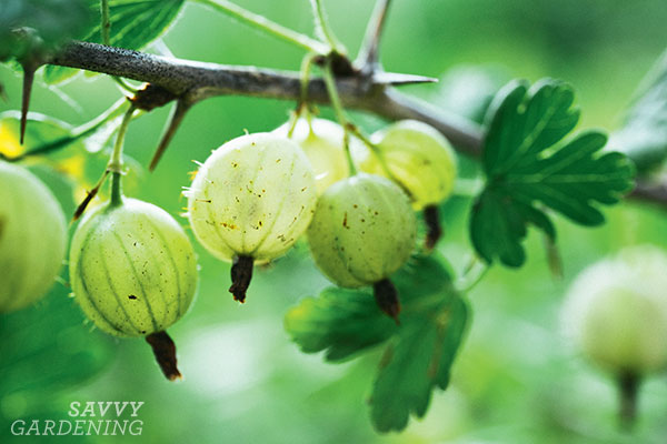 Gooseberries typically require high chill hours