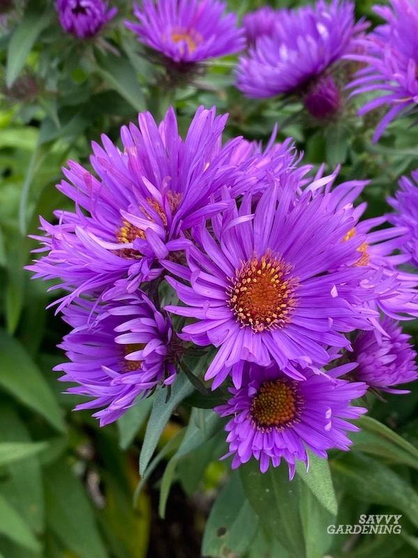 Growing Aster Purple Dome in the fall garden