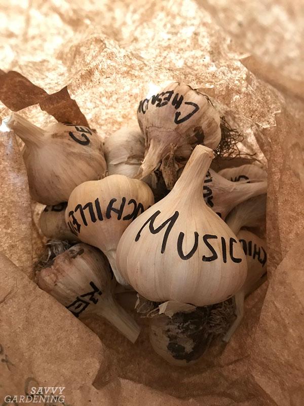 labeled garlic bulbs