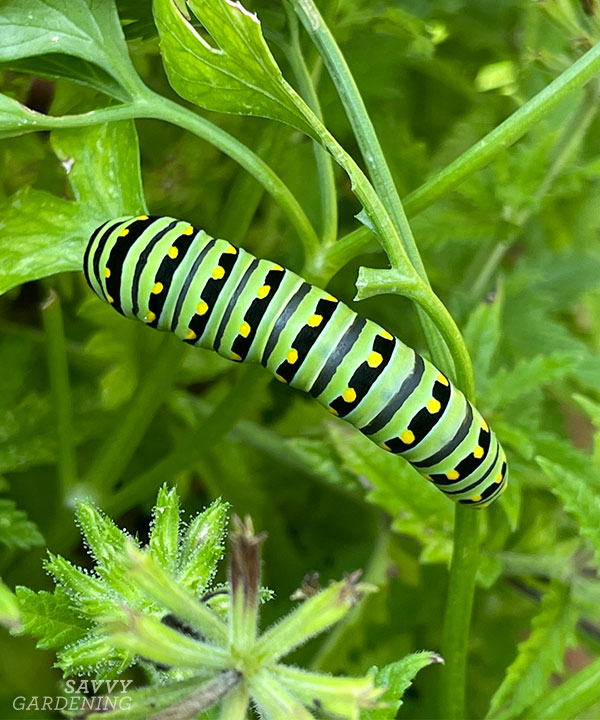 a black swallowtail caterpillar on a parsley plant