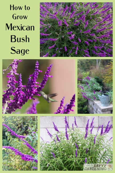 Growing Mexican Bush Sage: Tips for planting, watering, feeding, and overwintering