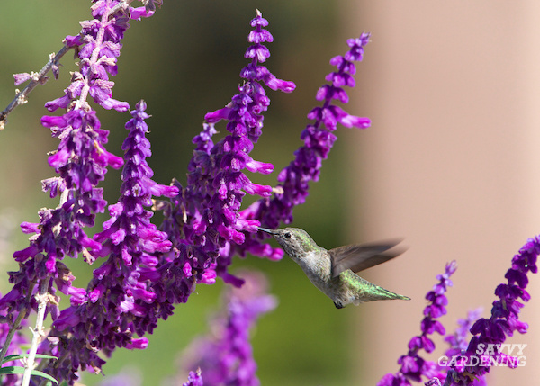 A great hummingbird plant for the garden