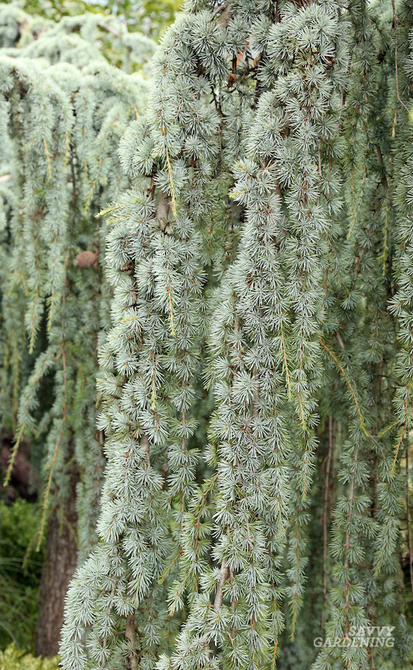 The best weeping evergreen tree