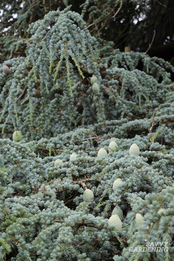 Blue needled evergreen tree