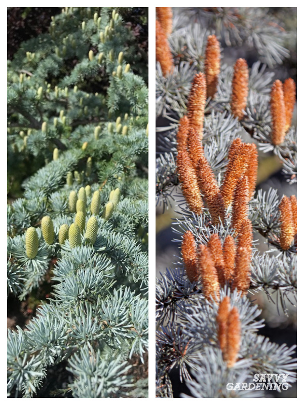 Weeping blue atlas cedars and how to grow them