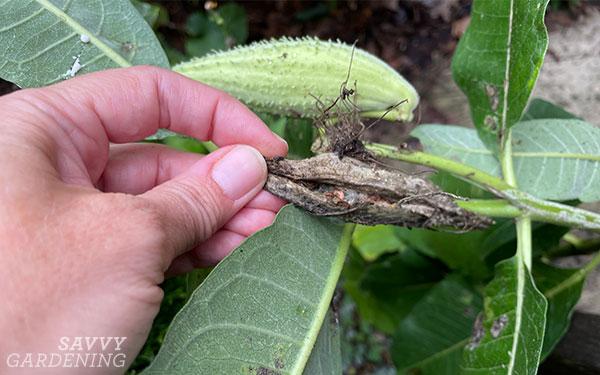 A milkweed pod damaged by milkweed bugs
