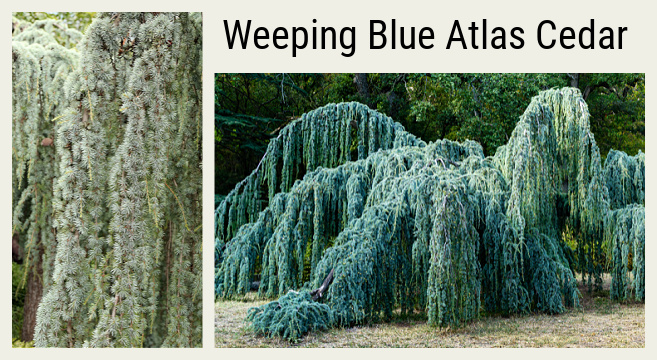 Evergreen weeping tree