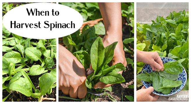 Tips for harvesting spinach