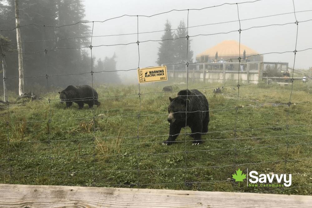 Grouse Mountain Bears