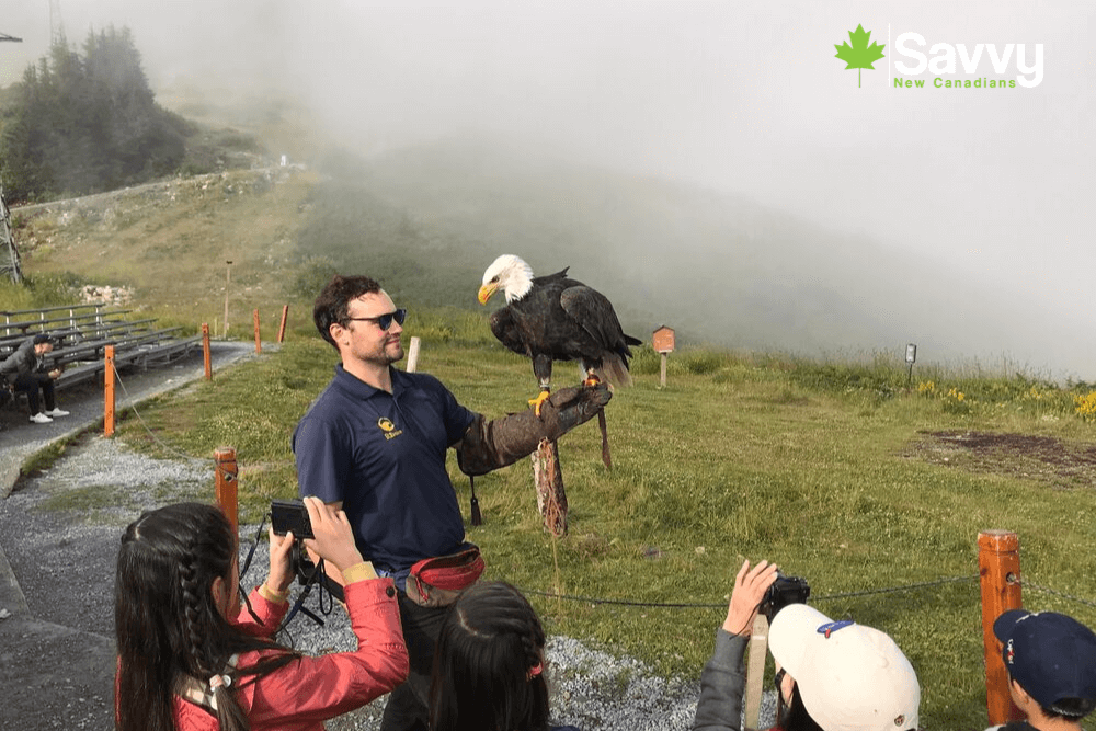 Grouse Mountain Birds in Flight Demonstration
