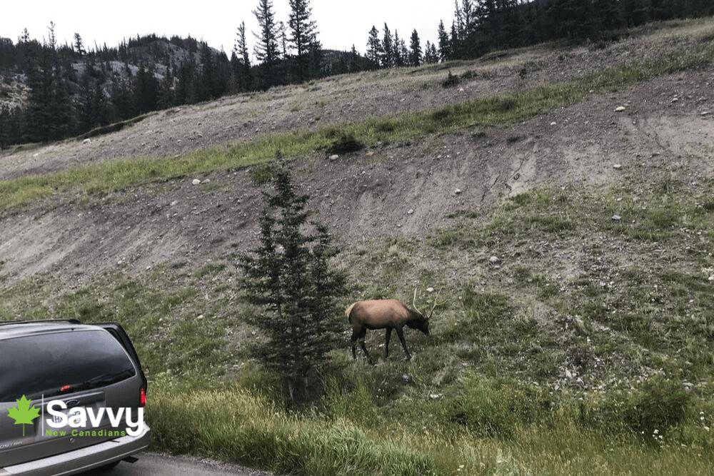 Wildlife Sighting Jasper National Park