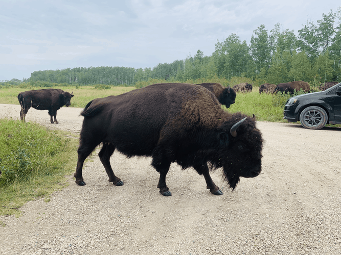 Bison at the Riding Mountain National Park