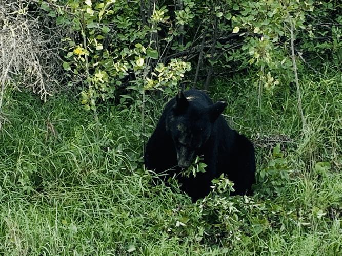 Black Bear at Lake Audy