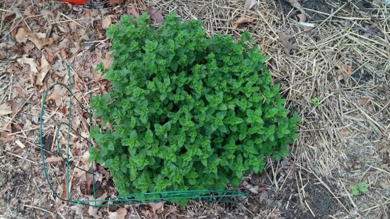 Huge oregano bush