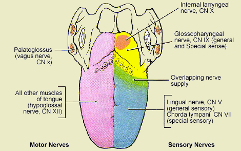 nerve-supply-of-tongue
