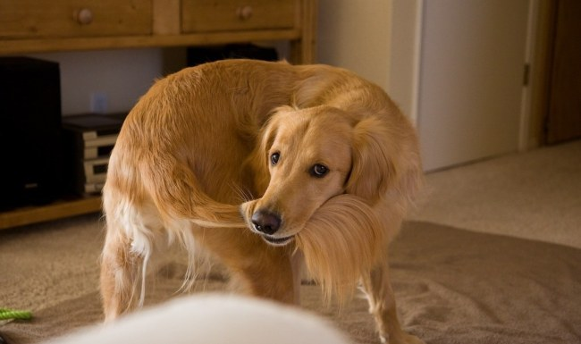 dog with tail