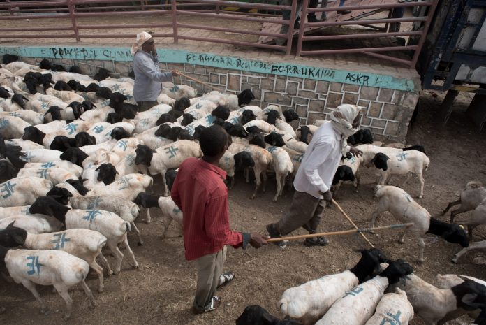 Herders corral black headed sheep in the Hargeisa livestock market in Somaliland on August 9, 2016. (Jason Patinkin)