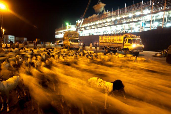 Sheep From Somaliland Heading To Saudi Arabia For Use As Sacrifice During The Hajj.(Jason Patinkin)