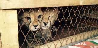 Somaliland Rangers Rescue Cheetah Cubs From Illegal Wildlife Trade