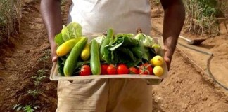 Seawater Greenhouse Reaps First Somaliland Veg Crop Grown With Just Sea Water