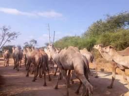 Somaliland To Northeastern Kenya: A Study To Improve Camel Productivity Through A New Drug